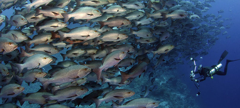 Dense shoal of Red Sea fish with diver